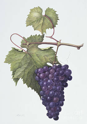 Grapes  Print by Margaret Ann Eden