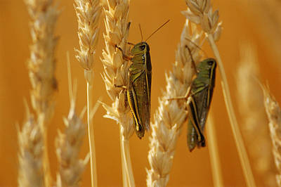 Grasshoppers On Wheat, Treherne Print by Mike Grandmailson