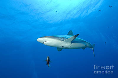 Gray Reef Shark. Papua New Guinea Print by Steve Jones