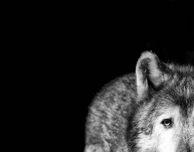 Black. Timber Wolf Photograph - Gray Wolf Stare Photo I've Got My Eye On You by Stephanie McDowell