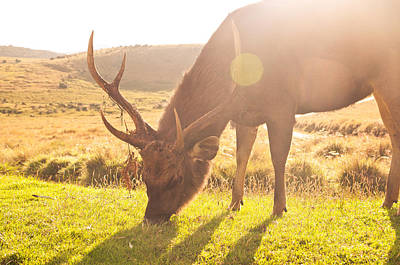 Y120831 Photograph - Grazing Deer by Flash Parker