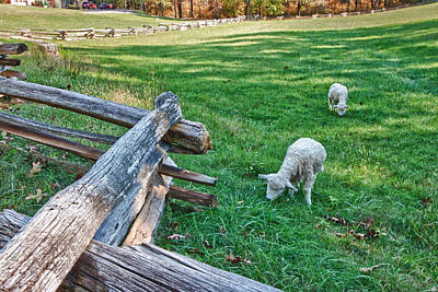 Grazing Farm Animals At Booker T. Washington National Monument Park Print by James Woody