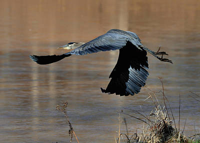 Great Blue Heron Flight - C1287g Print by Paul Lyndon Phillips
