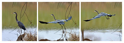 Great Blue Heron Takes Flight - T9535-7h  Print by Paul Lyndon Phillips