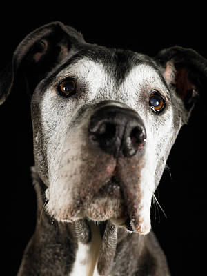 Great Dane Looking Up, Close-up Print by Ryan McVay