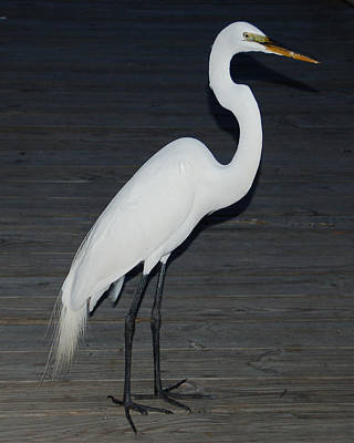 Aimeemaher Photograph - Snowy Egret by Aimee L Maher Photography and Art Visit ALMGallerydotcom