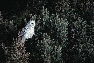 Great Gray Owl Strix Nebulosa In Blonde Print by Michael Quinton