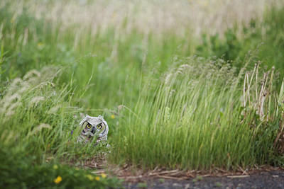 Great Horned Owl Bubo Virginianus Print by Susan Dykstra