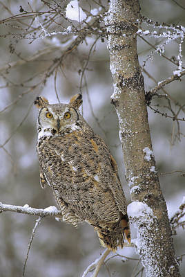 Great Horned Owl In Its Pale Form Print by Tim Fitzharris