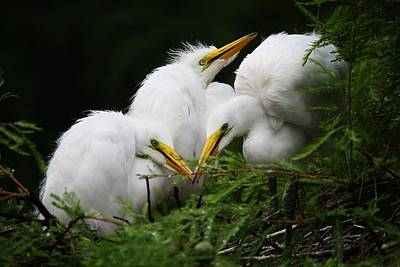 Great White Egret Babies In The Nest Print by Paulette Thomas