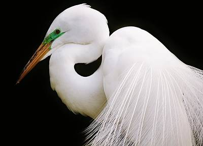 Great White Egret In Breeding Plumage Print by Paulette Thomas