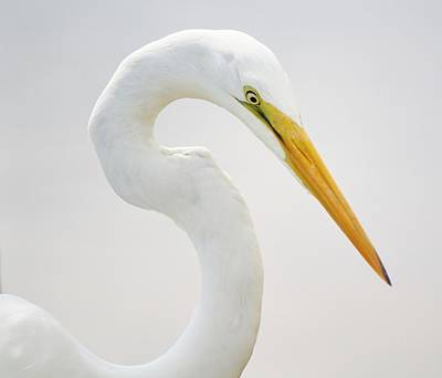 Great White Egret In Deep Thought Print by Paulette Thomas