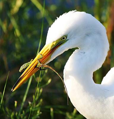 Great White Egret In The Lizard Print by Paulette Thomas