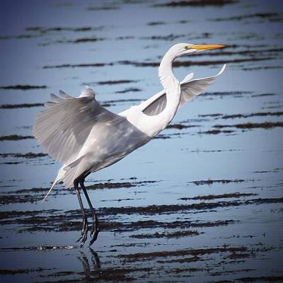 Great White Egret Original by Joseph G Holland