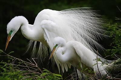 Great White Egret Mates Print by Paulette Thomas