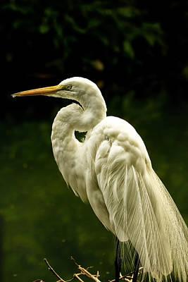 Stork Digital Art - Great White Egret Pose by Bill Tiepelman