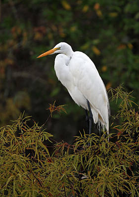 Great White Heron In Everglades Np Original by Juergen Roth