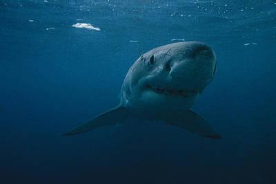 Great White Shark Carcharodon Print by Bill Curtsinger