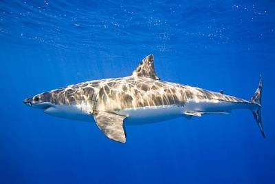 Great White Shark Carcharodon Carcharias Print by Carson Ganci