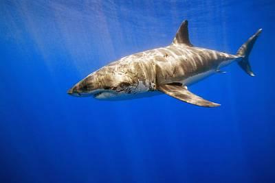 Great White Shark Print by Carson Ganci