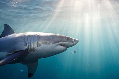 Great White Shark Print by Stephen Frink