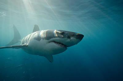 Great White Shark Swimming Underwater Print by Gerard Soury