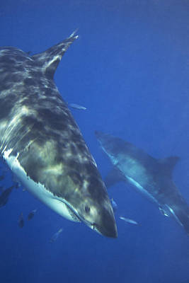 Great White Sharks Swimming In Clear Print by Mauricio Handler