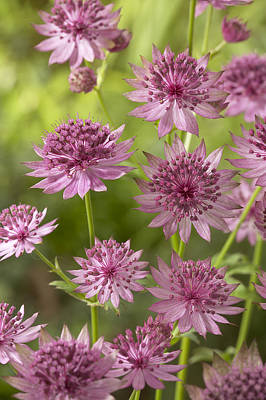 Astrantia Photograph - Greater Masterwort Astrantia Major Roma by VisionsPictures