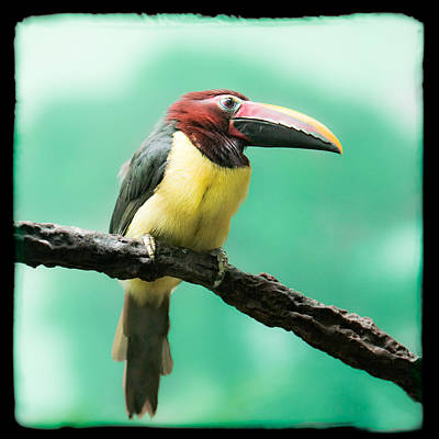 Green Aracari Toucan Print by Gary Heller