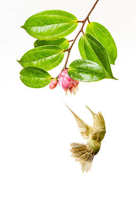 Green Crowned Brilliant Hummingbird Print by Hali Sowle