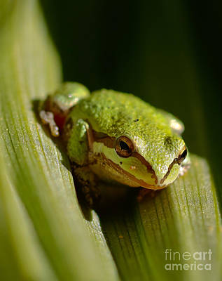 Green Frog 2 Print by Mitch Shindelbower