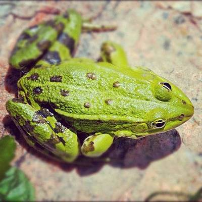 Animals Photograph - Green Frog Sitting On Stone by Matthias Hauser