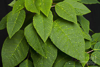 Green Leaves And Water Drops Print by James BO  Insogna