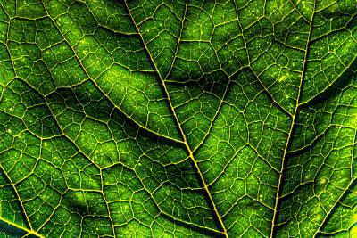 Green Pumpkin Leaf Print by Matt Dobson