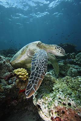 Green Sea Turtle Chelonia Mydas Print by Hiroya Minakuchi