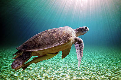Green Sea Turtle Print by Stephen Ennis Photography