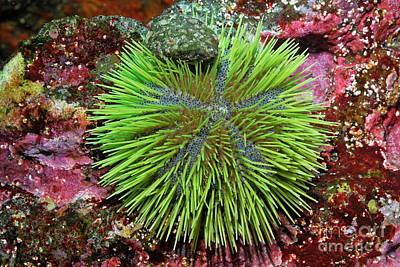 Green Sea Urchin On Rock Print by Sami Sarkis