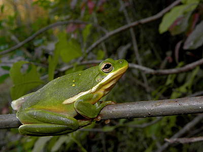 Tree Frog Photograph - Green Tree Frog by Griffin Harris