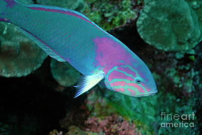 Green Wrasse On Coral Reef Print by Sami Sarkis