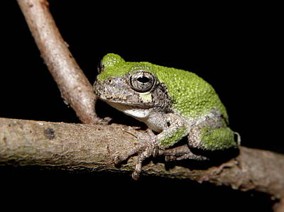 Tree Frog Photograph - Grey Tree Frog by Griffin Harris