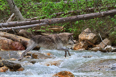 Nature Photograph - Grey Wolf Crossing A Mountain Stream by Louise Heusinkveld