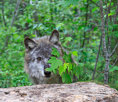 Wolf Photograph - Grey Wolf Hiding Behind Leaves by Louise Heusinkveld