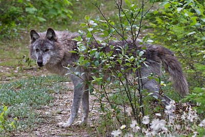 Nature Photograph - Grey Wolf by Louise Heusinkveld