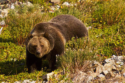 Grizzly 1 Print by Mark Kiver