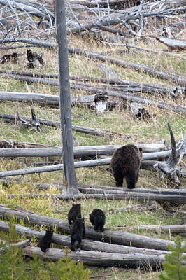 Born In The Usa Photograph - Grizzly Family Walking Through Woods by Steve Stuller