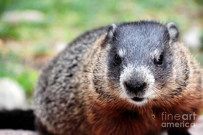 Groundhog Photograph - Groundhog by Charline Xia