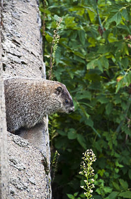 Groundhog Photograph - Groundhog Day by Bill Cannon