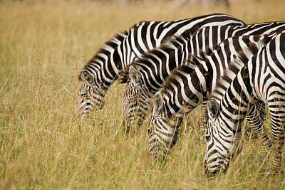 Of Zebra Grazing Photograph - Group Of Zebras Feeding On Grass by Grant Faint