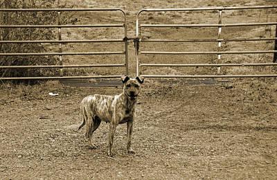 Pitbull Photograph - Guard Dog by Steven  Michael