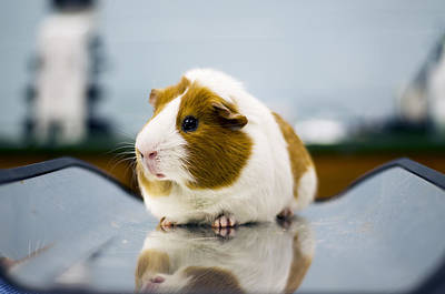 Guinea Pig Print by Seymore Imagery